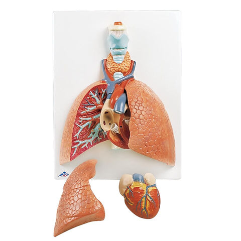 Lung Model with Larynx 5-Part