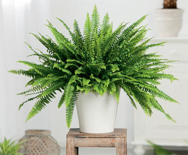 Best Indoor Plants for Bathrooms:  Boston Fern