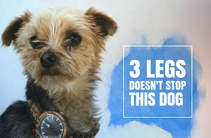 3 Legs Doesn't Stop This Yorkie Tripod!
