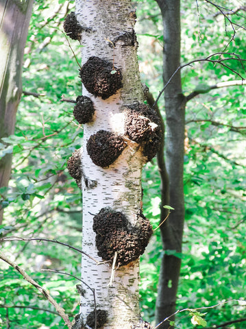 Burls Growing on a Tree