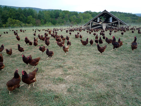 Chickens Grazing on an Open Field, Agriculture, Family Farm