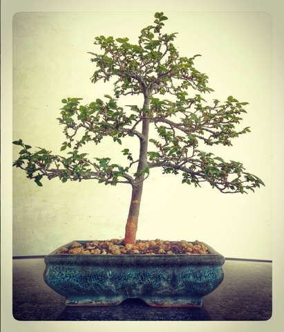 bonsai tree best plants for office