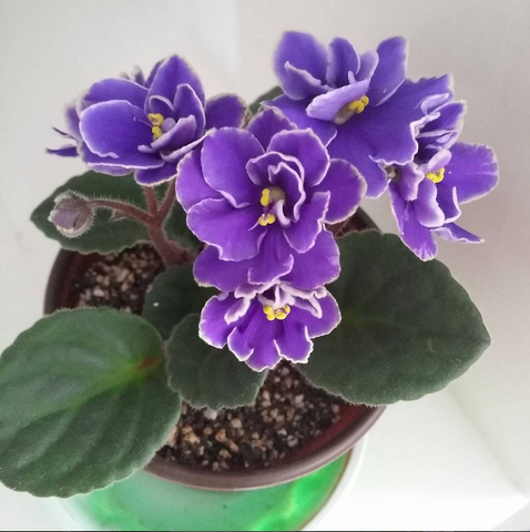 best indoor plants for the office - african violet
