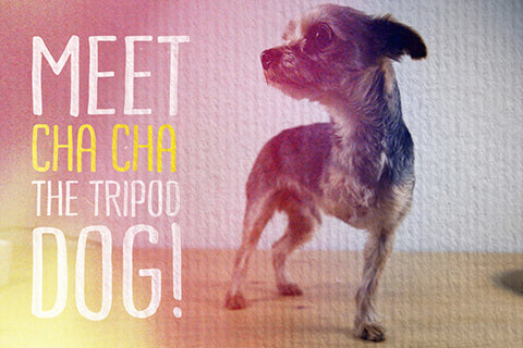 Meet Cha Cha: The 3 legged tripod Yorkie Dog!