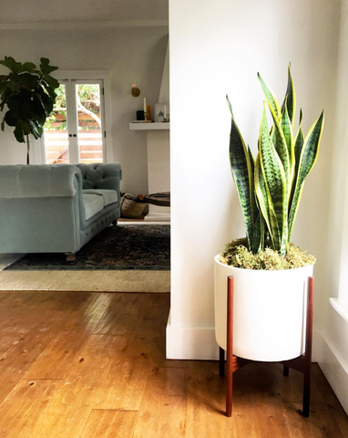 best indoor plants for the office - snake