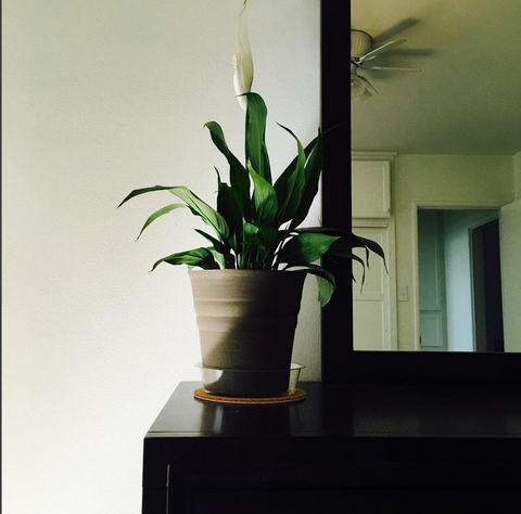 peace lily - best indoor plants for office