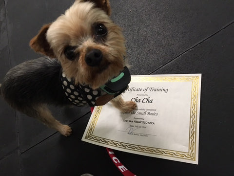 Cha Cha the Yorkshire Terrier Rescue Dog and his Certificate of Graduation