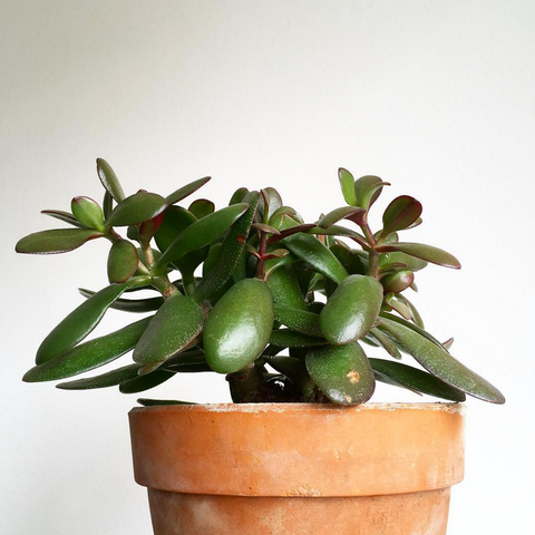 jade - best plants for the office