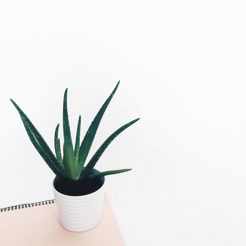 best indoor plant for office - aloe