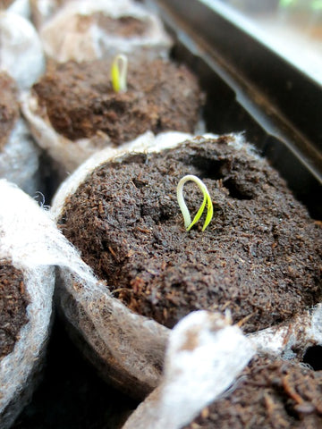 sprouted root for april fools treehut article