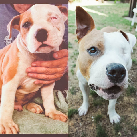 Puppy Transformations: Heartwarming Photos of Dogs Before and After the Shelter, One Eyed Pit Bull Rescue Dog