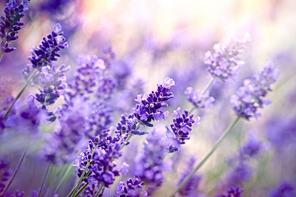 Product Spotlight: Natural Lavender Body Lotion