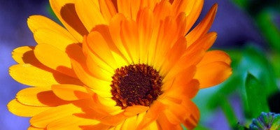 Benefits of GREEN SISTERS CALENDULA OIL