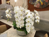 Phalaenopsis orchids Pure Beauty