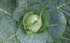 Cabbage - Early Jersey Wakefield