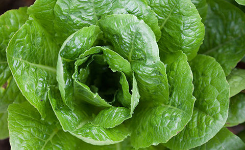 Romaine Lettuce - Coastal Star