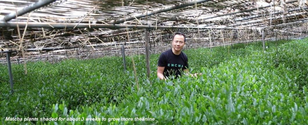 Encha Founder Dr. Li Gong in shaded matcha tea field
