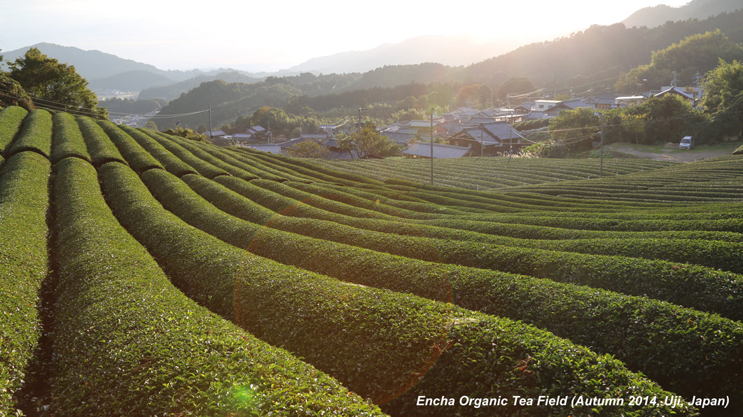 Encha organic matcha green tea field in autumn in Uji Japan