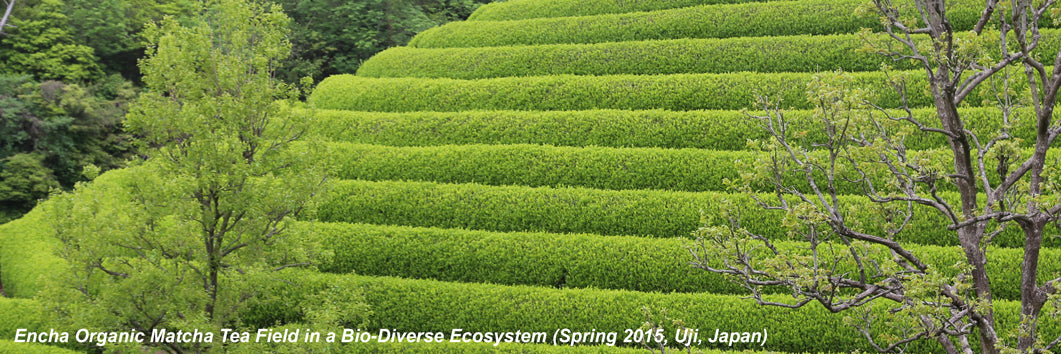 Encha organic matcha tea field in spring in Japan