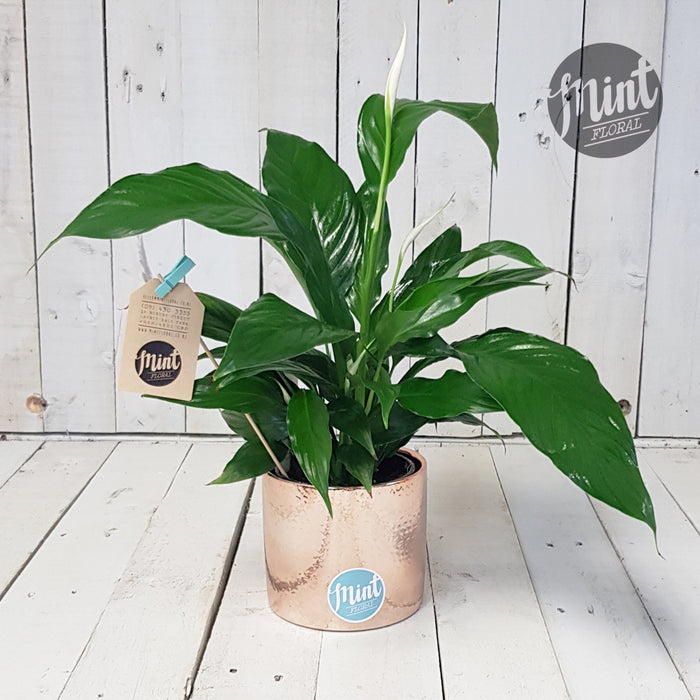 Lush Peace Lily Plant with Ceramic Pot