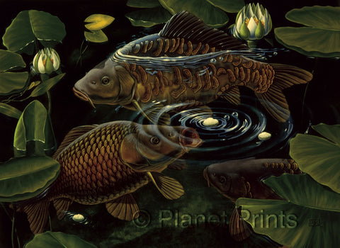 Carp Fish Feeding on Floaters