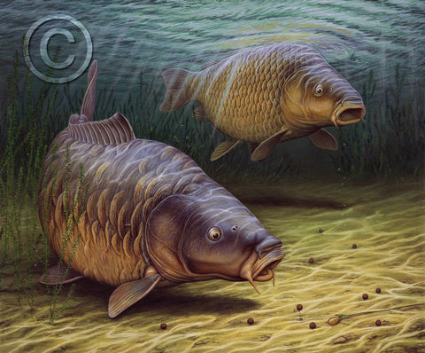 Two Cautious Carp Feeding on Anglers Bait