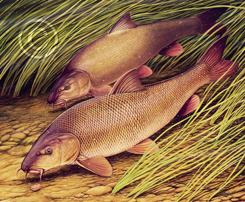 Barbel Feeding in River on Anglers Bait