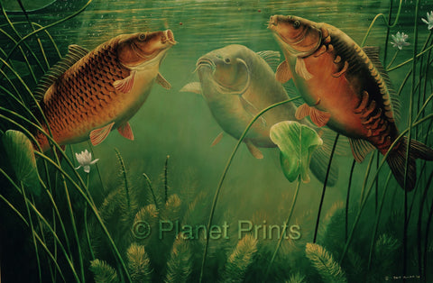 Three Carp Feeding in Water Angling Illustration