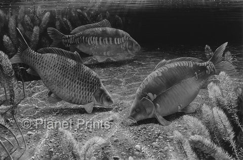 Three Carp Feeding at Midnight Fishing Art