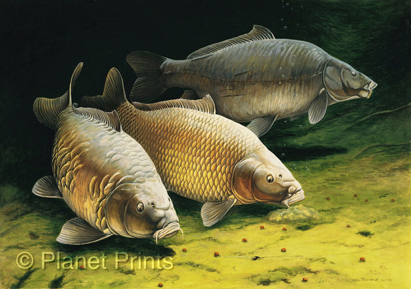 Three cautious carp by chris turnbill fishing art - Carp fishing wallpaper hd ...