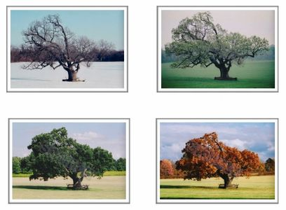 """THE MERCER OAK - 1996 & 1997"" a Set of Photographs by John S. Rounds"