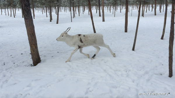 This little beauty was new to the flock and was not tempted by Reindeer Moss. She stayed on the periphery and was bullied by the other reindeer. Again, there appeared to be a heirachy in the pack--very much like horses.