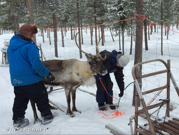 We were taken to another pen which held the trained reindeer and was told to catch our own reindeer - ha ha. That was funny.