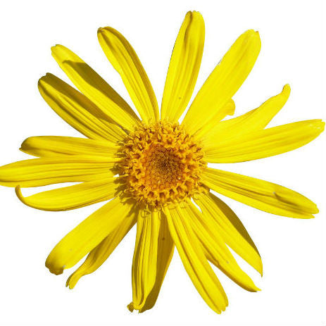 Arnica flower on white background