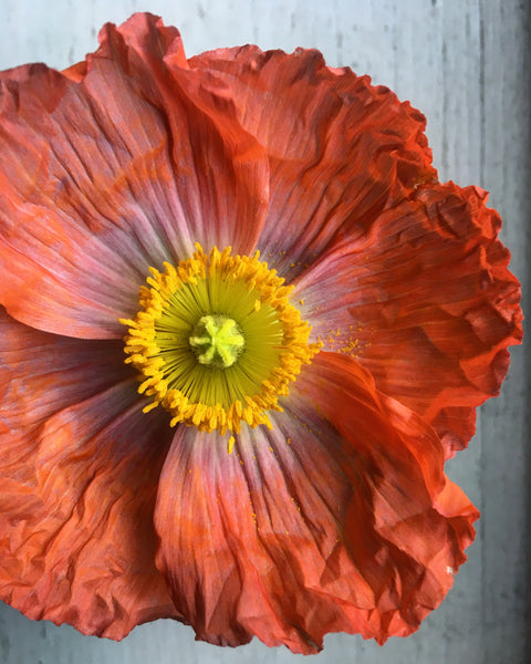 Single Red Poppy Art Print