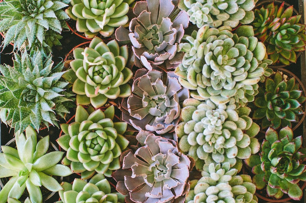 Succulents for Daaaaays