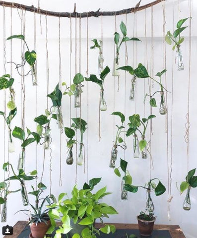Wildflora Los Angeles florist Ventura Blvd Studio City California plant green foliage blog DIY cutting pothos philodendron propagate angle glass vase vessel roots hanging garden string branch