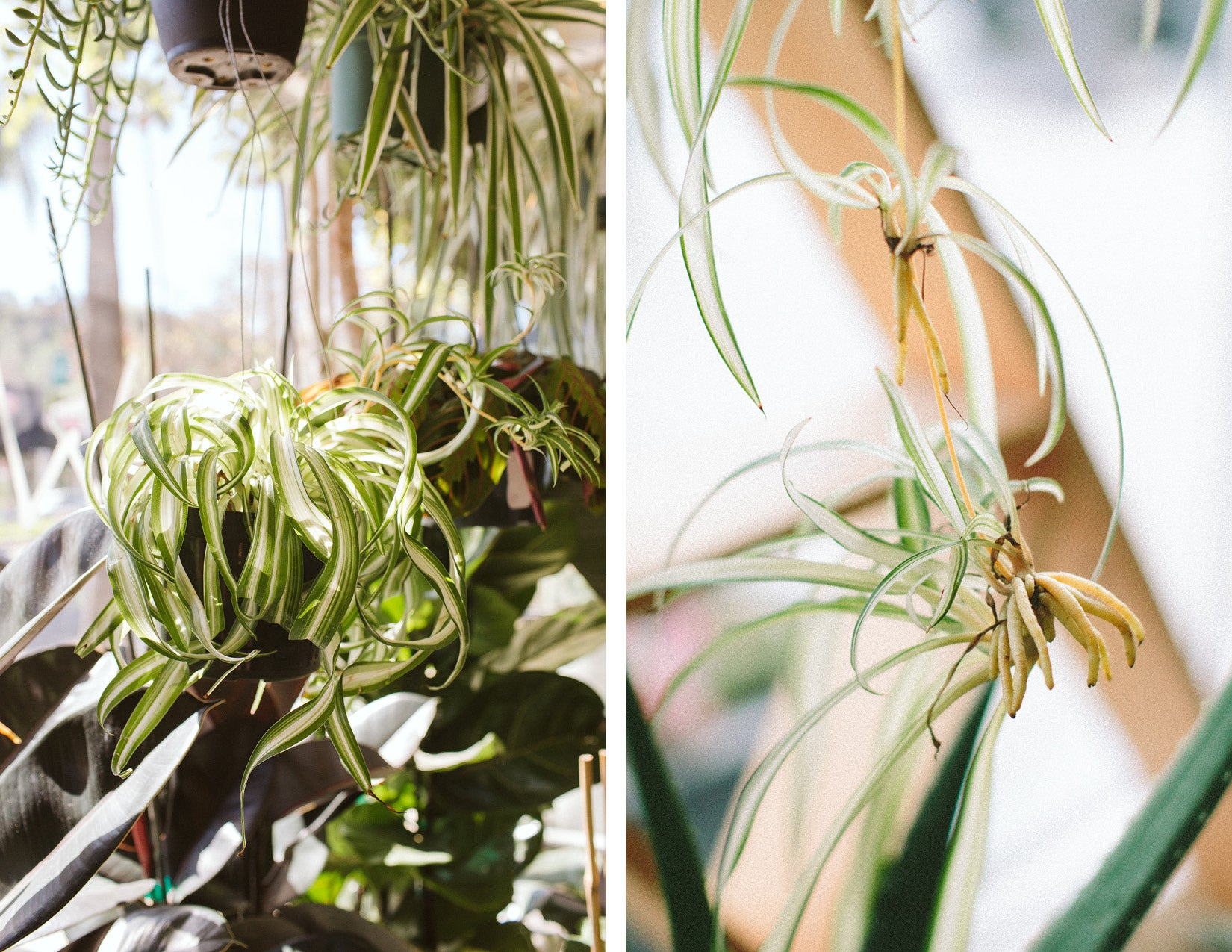 spider plant chlorophytum comosum variegated spiderettes how to care for light water growth