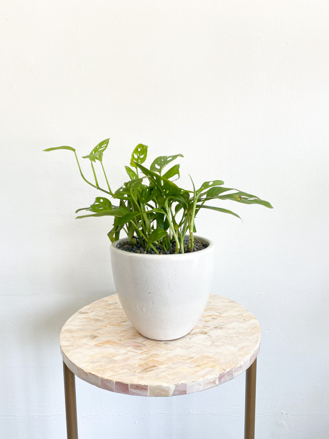Swiss Cheese Plant in White Cylinder Pot: Monstera Adansonii