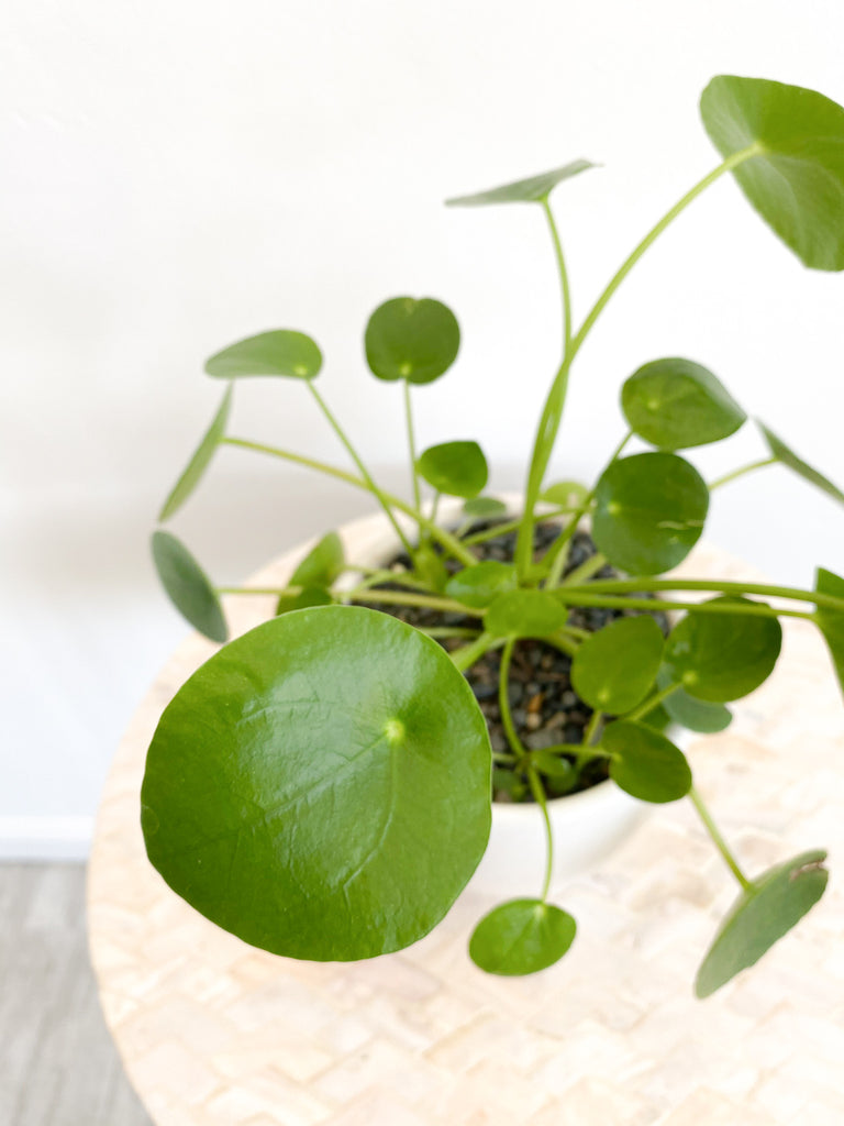 Chinese Money Plant in Pot: Pilea Pepperomia