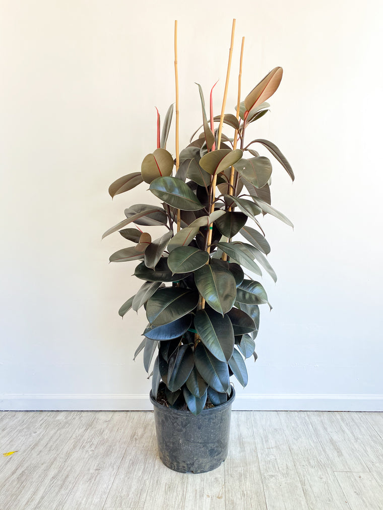 Extra Large Rubber Tree: Ficus elastica