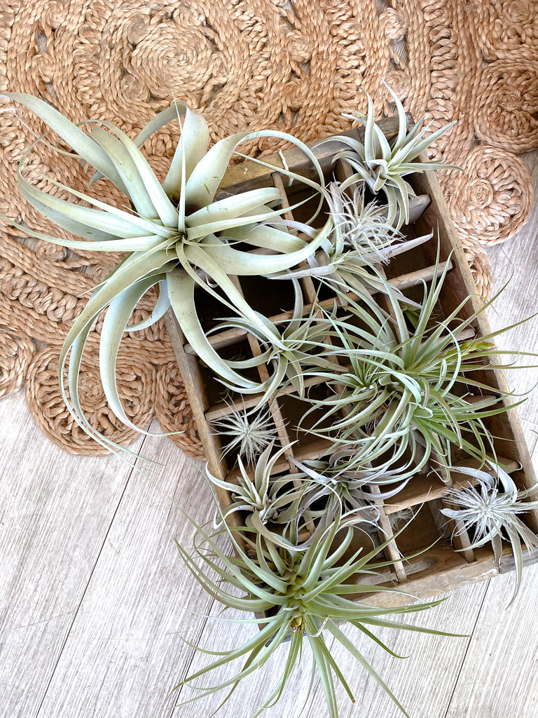 Air Plant: Tillandsia harrisii
