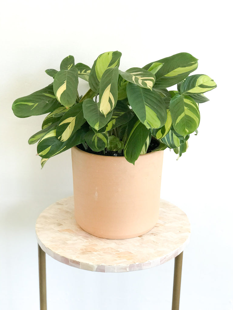 Never Never Plant in Pot: Ctenanthe lubbersiana