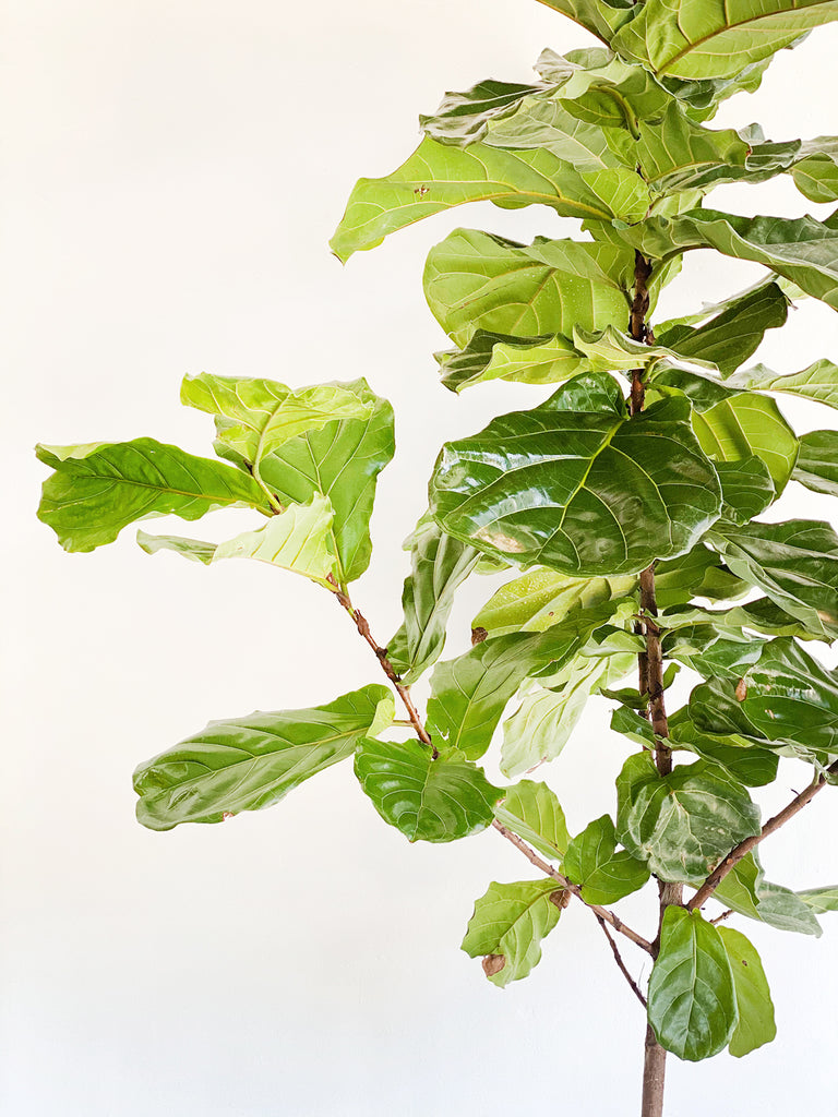 Fiddle Leaf Fig: Ficus Lyrata