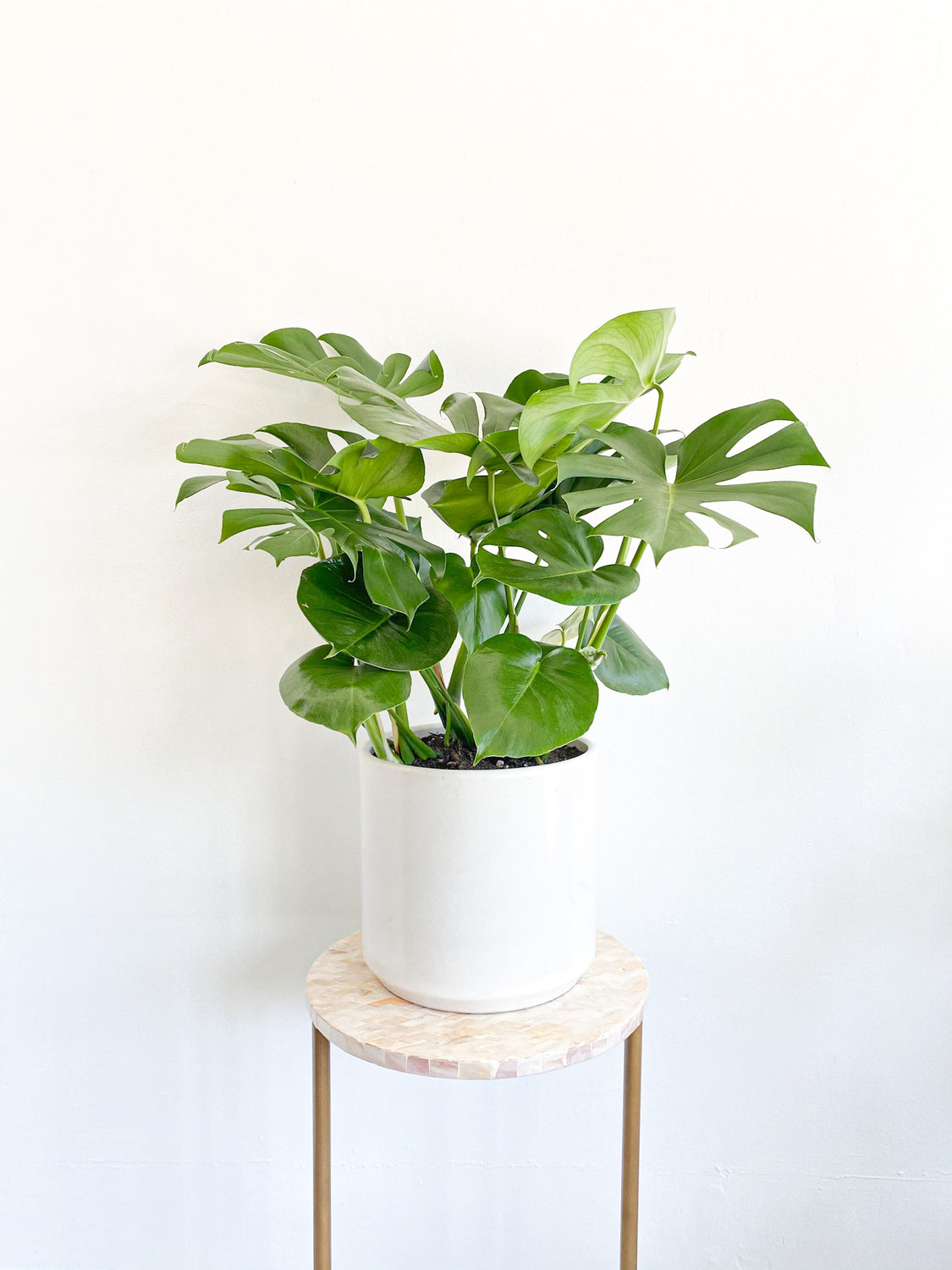 Monstera Deliciosa: Plant in White Cylinder Pot