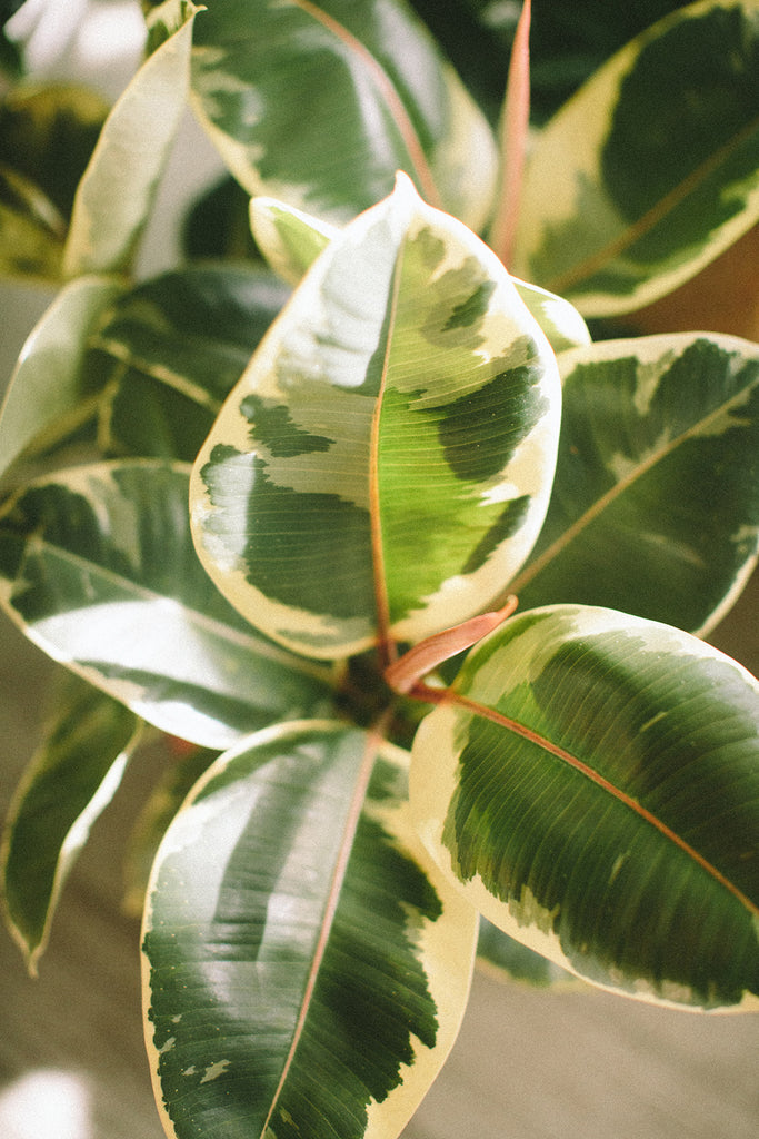 Small Rubber Tree: Ficus elastica
