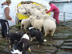 sheep dogs with farmer
