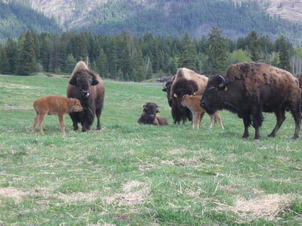 Bison herd with calves
