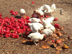 Meat chickens feasting on red peppers