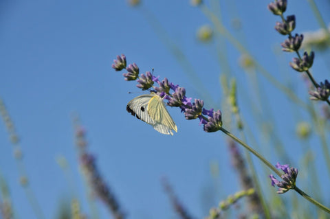 Butterfly in Tuscany